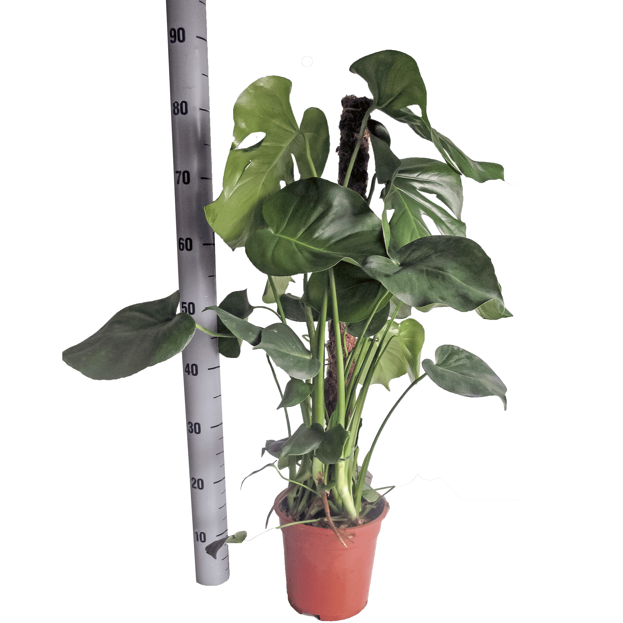 Photo: Monstera deliciosa (Swiss cheese plant) in pot with 17 cm diameter.