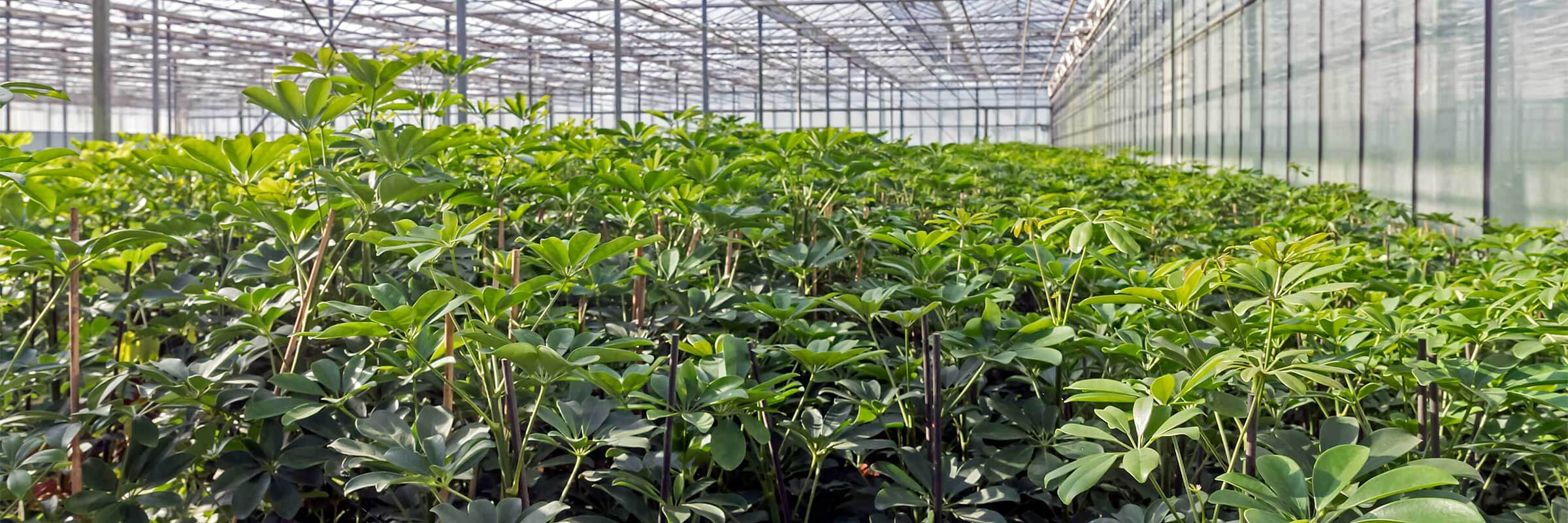 Photo: Umbrella plants (Schefflera arboricola) in glass greenhouse Plant Nursery Oranjevliet.
